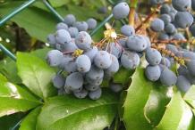 Mature-Fruits-of-Oregon-Grape