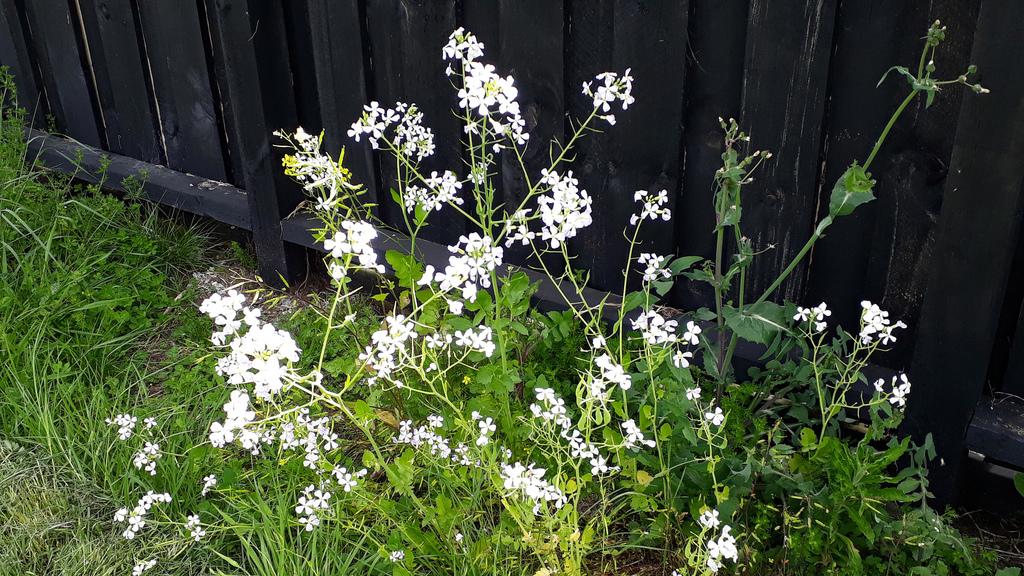 Flower-of-Oriental-radish