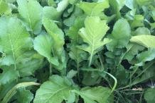 Leaves-of-Oriental-radish