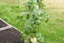 Oriental-radish-plant