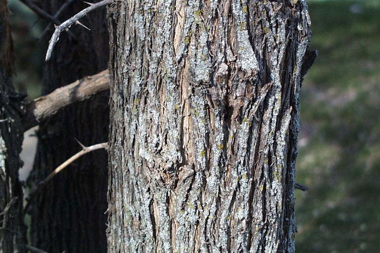 Bark-of-Osage-orange