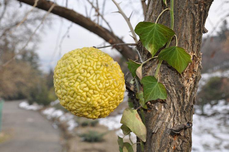 Mature-fruit-of-Osage-orange-on-the-tree