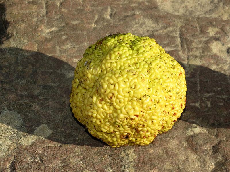 Mature-fruit-of-Osage-orange