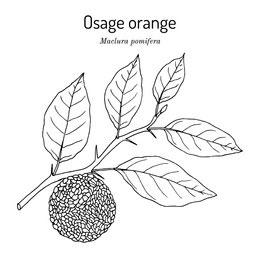 Sketch-of-Osage-orange