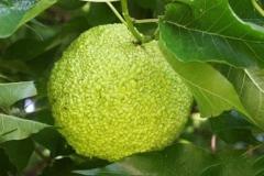 Immature-fruits-of-Osage-orange
