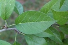 Leaves-of-Osage-orange
