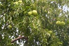 Osage-orange-plant