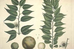 Plant-Illustration-of-Osage-orange