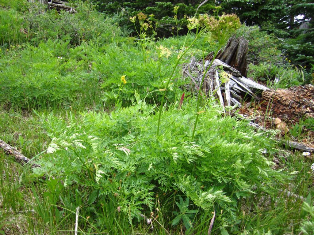 Osha-plant-growing-wild