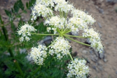 Flowers-of-Osha