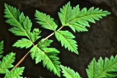 Leaves-of-Osha