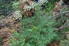 Osha-plant