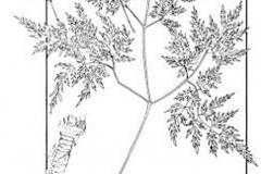 Plant-Illustration-of-Osha