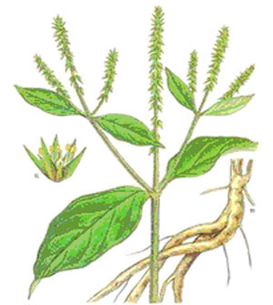 Plant-Illustration-of-Ox-knee