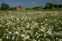 Oxeye-Daisy-farming