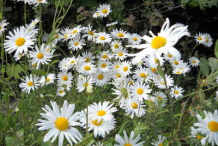 Oxeye-Daisy-growing-wild