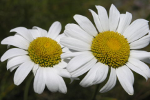 Closer-view-of-flower of Oxeye-Daisy