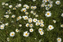 Oxeye-Daisy-Flowers