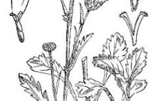 Sketch-of-Oxeye-Daisy-plant