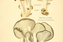 Plant-illustration-of-Oyster-mushroom