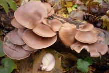 Oyster-mushroom