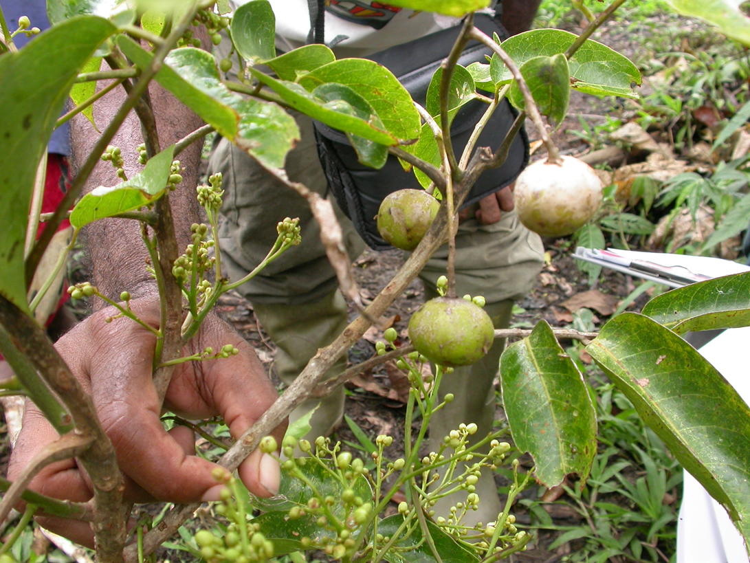 Pacific-Walnut-Fruit-on-the-plant