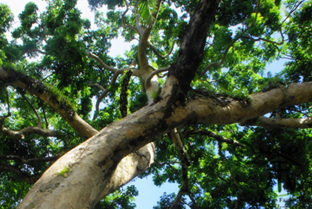 Pacific-Walnut-Plant
