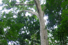 Trunk-of-Pacific-Walnut