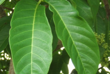 Leaves-of-Pacific-Walnut