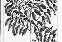 Sketch-of-Pacific-Walnut-plant