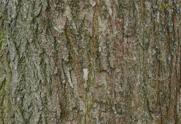 Bark-of-Pagoda-tree