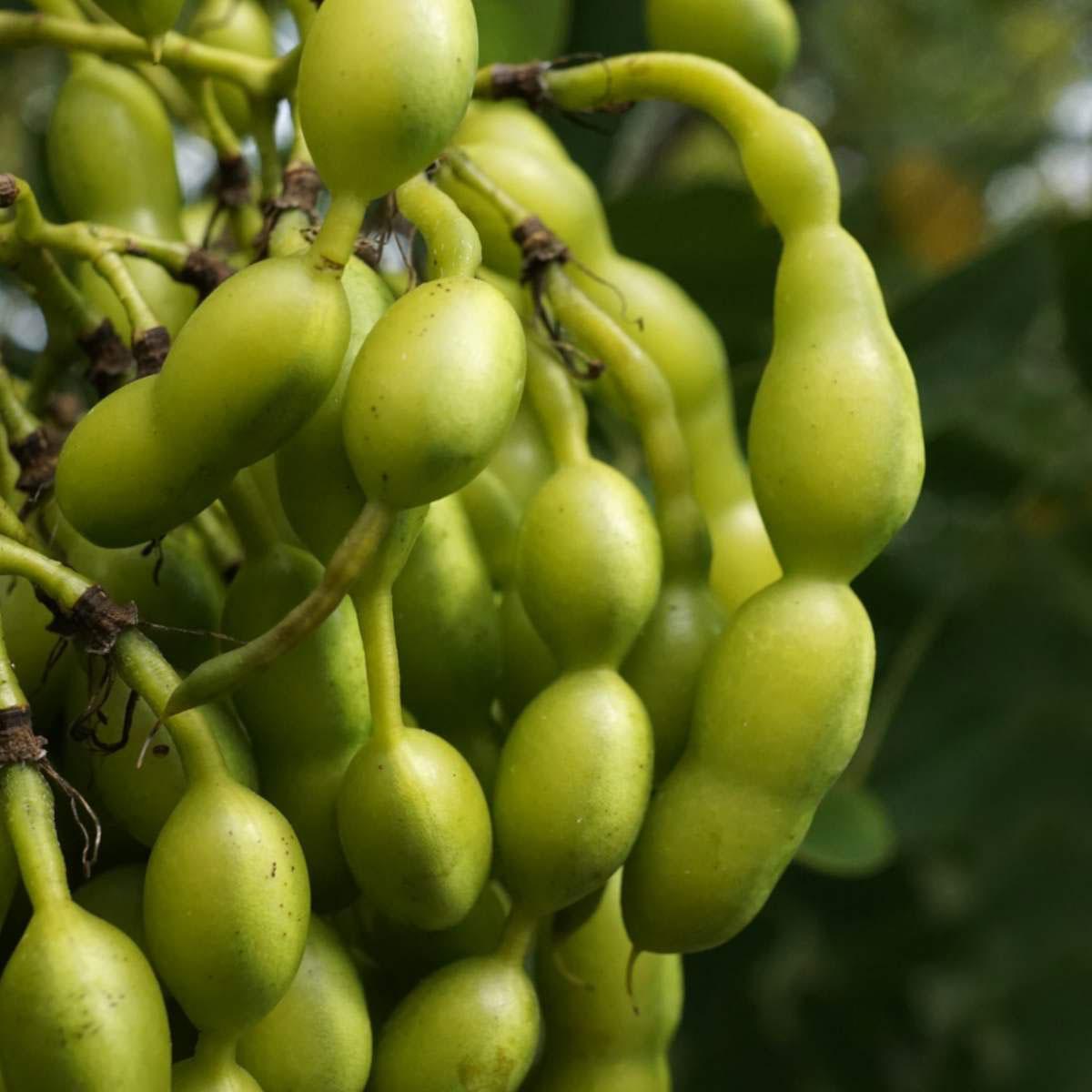 Immature-fruits-of-Pagoda-tree