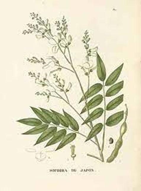 Plant-Illustration-of-Pagoda-tree