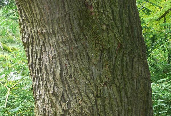 Trunk-of-Pagoda-tree