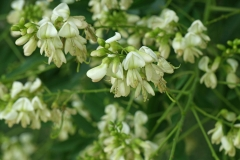 Flowers-of-Pagoda-tree