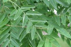 Leaves-of-Pagoda-tree
