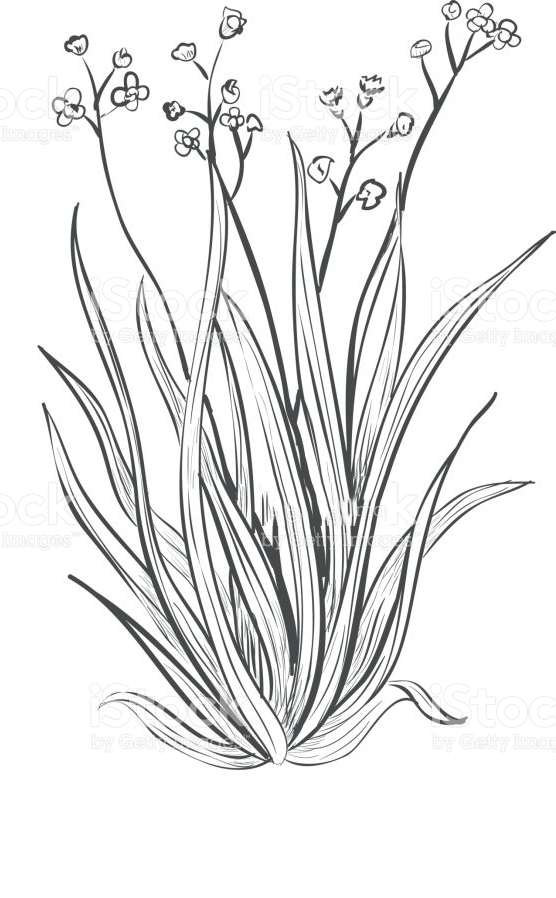 Sketch-of-Palmarosa-plant