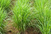 Palmarosa-Plant