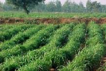 Palmarosa-farming
