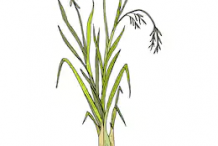 Plant-Illustration-of-Palmarosa