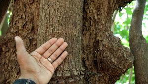 Papaturro Tree