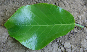 Dorsal-view-of-Papaturro-Leaf