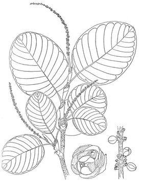 Papaturro-plant-sketch