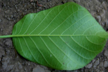 Ventral-view-of-Papaturro--leaf