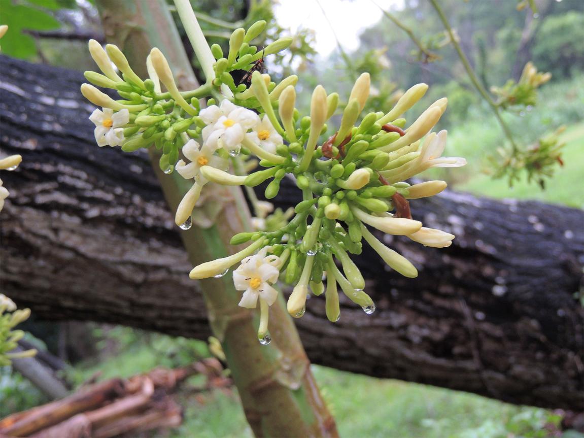 Flower-bud-of-Papaya