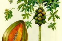 Illustration-of-Papaya