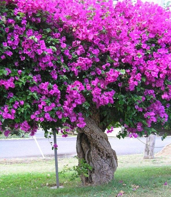 Paper-flower-plant