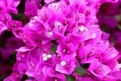 Flower-of-Paper-flower-plant