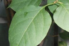 Leaves-of-Paper-flower