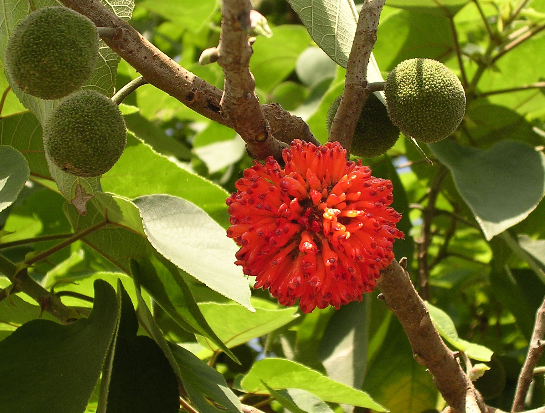 Paper Mulberry Facts And Health Benefits